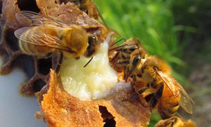 Apitherapy about royal jelly